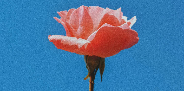 Mojo Rose